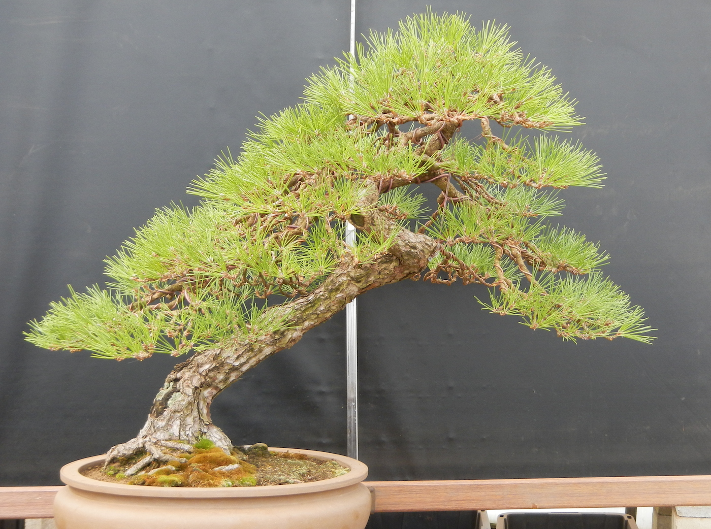 After Crazy 2015-03-20 Bonsai West Collection
