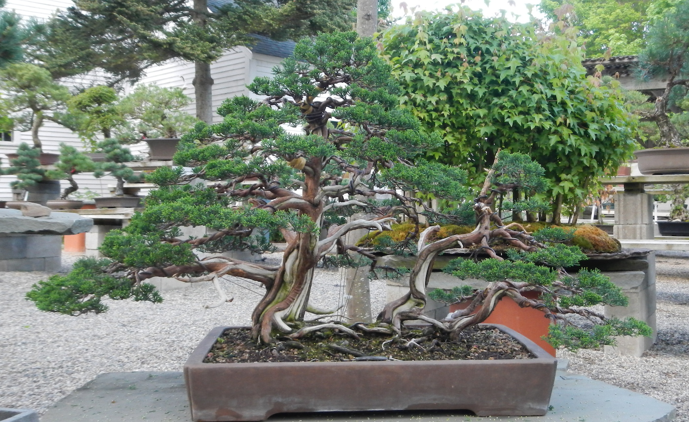 After Crazy 2015-05-19 Bonsai West Collection1