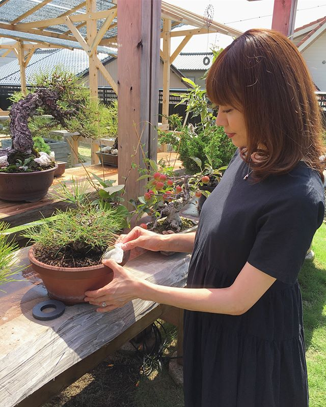 "Many bonsai text book goes, ""After Mekiri:Decandle, Don't give fertilizer for a week"". But, We don't care about it. I think not big deal.芽切り後の肥料は1週間後と色々な教科書には書いてありますが、私たちはすぐに与えます🍽🌞肥料が効き始めるのに乗せてから1週間程かかると聞きいたからです木は問題なく元気です参考にして下さい 森友美.Tomomi Mori#bonsai#bonsaitree#bonsaiart#bonsaitree#bonsailove#bonsailovers#bonsaicare#bonsailife#bonsaigarden#bonsaiwork"