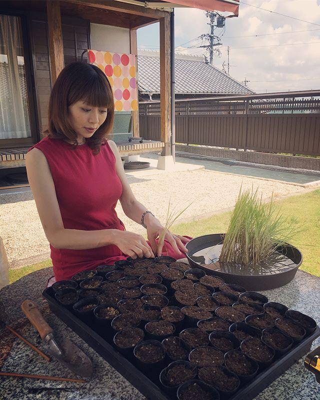 I divide rice plant. I hope its going to be nice accent plant for bonsai on autumn. 秋に向けて稲を株分けしました素敵な盆栽の下草になりますように️ 森友美.Tomomi Mori#bonsai#bonsaitree#bonsaiart#bonsaitree#bonsailove#bonsailovers#bonsaicare#bonsailife#bonsaigarden#bonsaiwork