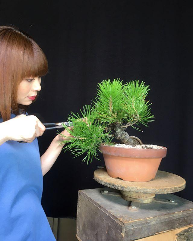 The last Mekiri:Decandle of this year. We grow this black pine since this Spring. We choose Japnese River Sand to grow it. Its much more water and fertilizer. But, Good to grow young tree. 砂植えをした黒松です春からの半年でこんなに元気に芽が伸びました砂を入れると重たくなるし水も肥料も大変たけど、黒松の成長には適しています 森友美.Tomomi Mori#bonsai#bonsaitree#bonsaiart#bonsaitree#bonsailove#bonsailovers#bonsaicare#bonsailife#bonsaigarden#bonsaiwork